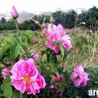 گلاب و عرقیات اصل کاشان